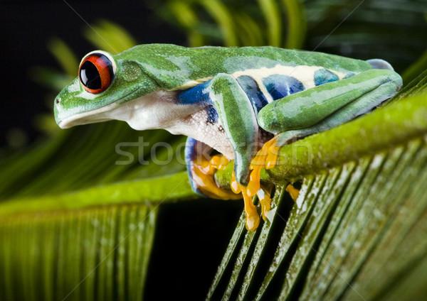 Groene boom kikker kleurrijk natuur Rood tropische Stockfoto © JanPietruszka