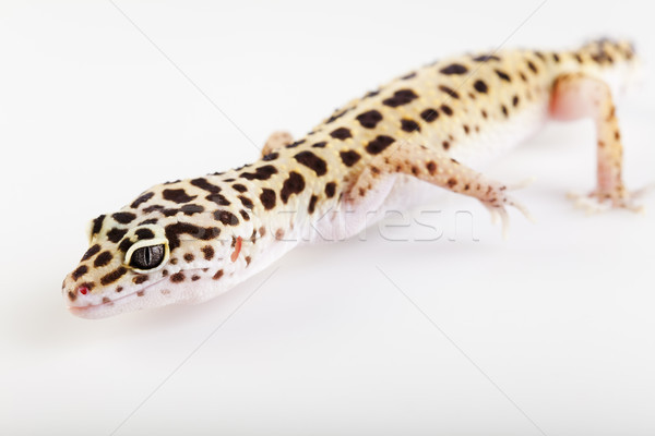 Gekko heldere kleurrijk levendig witte dier Stockfoto © JanPietruszka