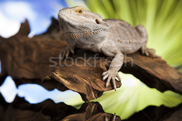 Animal Lizard, Bearded Dragon on mirror background Stock photo © JanPietruszka