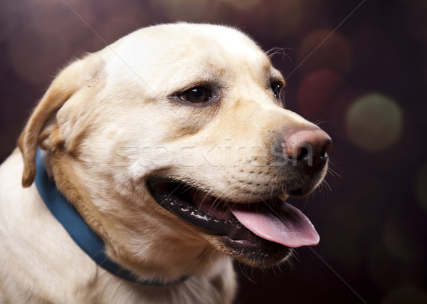 Köpek labrador retriever yüz portre hayvan köpek yavrusu Stok fotoğraf © JanPietruszka