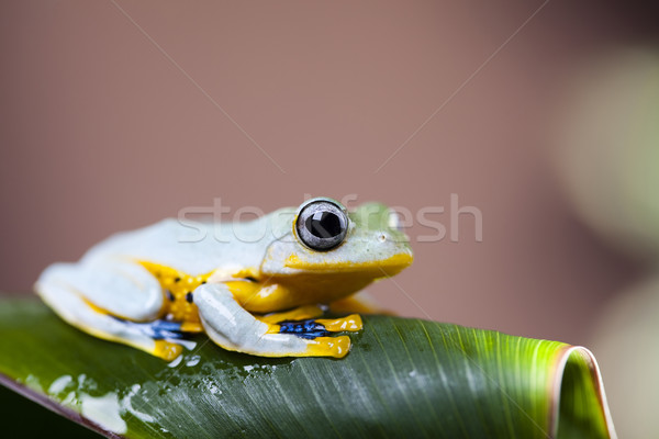 Green tree frog Stock photo © JanPietruszka
