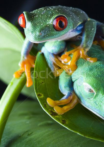 Repülés béka dzsungel színes természet piros Stock fotó © JanPietruszka
