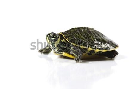 Teknősbéka természetes fej minta állat út Stock fotó © JanPietruszka