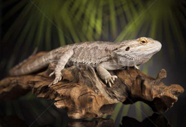 Agama bearded, pet on black background, reptile  Stock photo © JanPietruszka