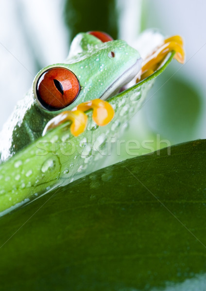 飛行 カエル ジャングル カラフル 自然 赤 ストックフォト © JanPietruszka