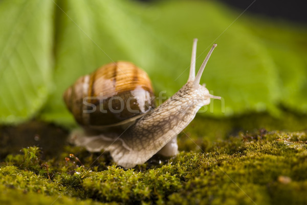 Snail, a slow animal that is covered by a shell Stock photo © JanPietruszka