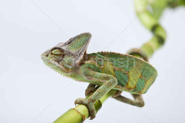 Lizard families, Chameleon, bright vivid exotic climate Stock photo © JanPietruszka