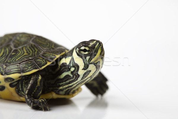 Turtle walking in front of a white background Stock photo © JanPietruszka