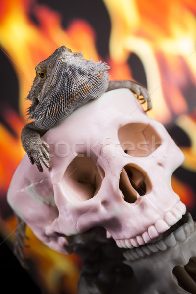 Fire lizard, agama on black mirror background Stock photo © JanPietruszka
