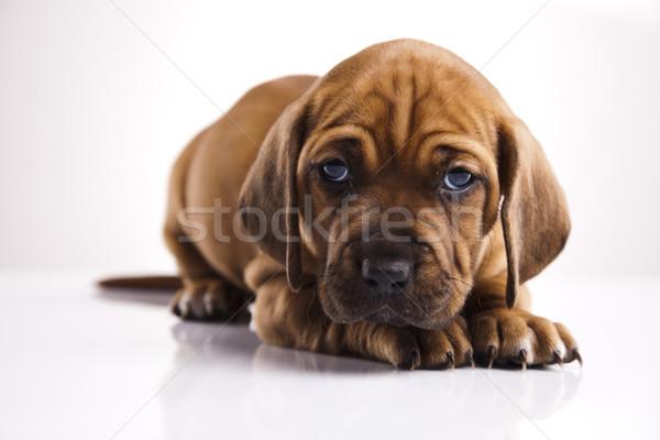 щенков мало собака ребенка собаки молодые Сток-фото © JanPietruszka