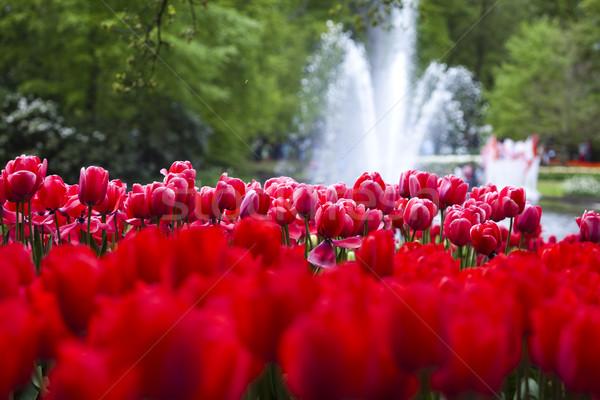 Közelkép virág tulipán tavasz színes élénk Stock fotó © JanPietruszka