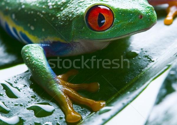 カエル ジャングル カラフル 自然 赤 熱帯 ストックフォト © JanPietruszka