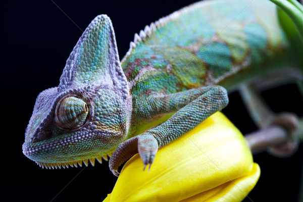 Flower on chameleon, bright vivid exotic climate Stock photo © JanPietruszka