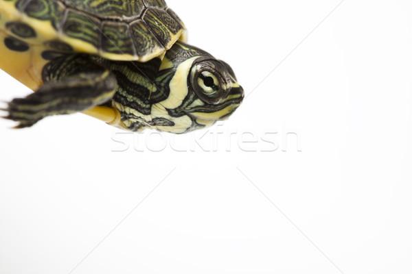 Güzel kaplumbağa yalıtılmış beyaz kafa model Stok fotoğraf © JanPietruszka