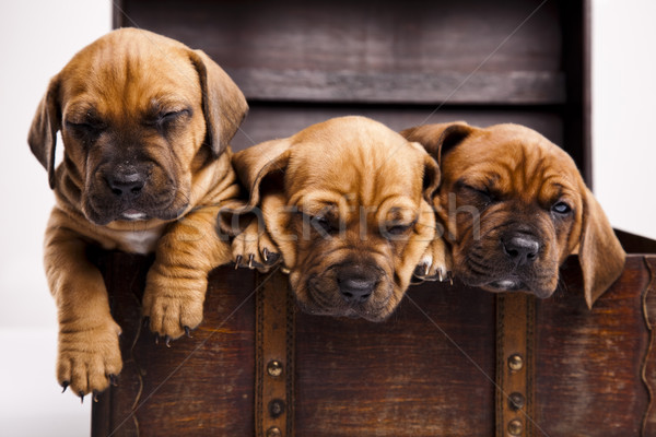 Puppies amstaff,dachshund Stock photo © JanPietruszka