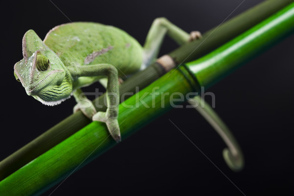Camaleão atravessar fundo retrato animais engraçado Foto stock © JanPietruszka