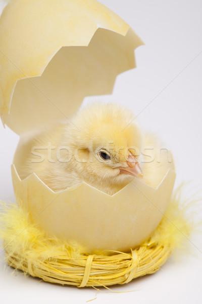 Chick Stock photo © JanPietruszka