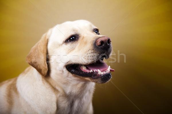 Psa labrador retriever twarz portret zwierząt szczeniak Zdjęcia stock © JanPietruszka
