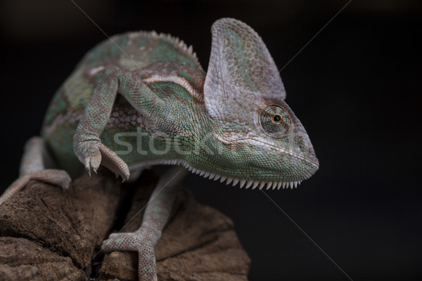 Green chameleon on the root, lizard, black background Stock photo © JanPietruszka