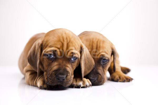 Baba kutyák kicsi kutya fiatal szomorúság Stock fotó © JanPietruszka