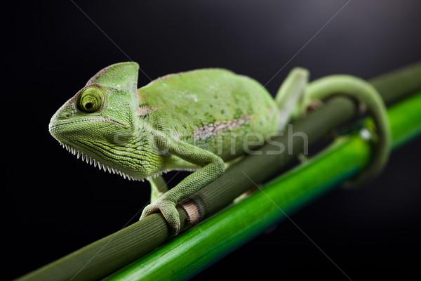 Jaszczurka rodziny Chameleon krzyż tle portret Zdjęcia stock © JanPietruszka