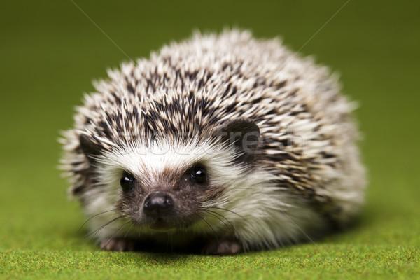 Hedgehog Stock photo © JanPietruszka