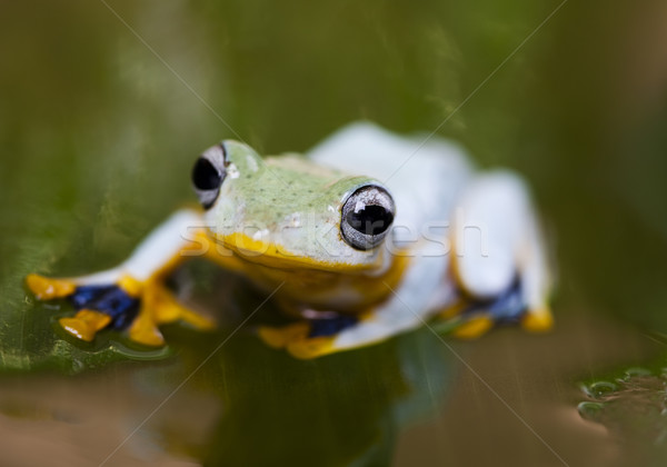 Exotic frog in indonesia, Rhacophorus reinwardtii  Stock photo © JanPietruszka