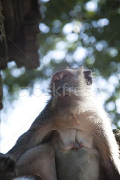 Monkeys bali ada Endonezya parlak renkli Stok fotoğraf © JanPietruszka