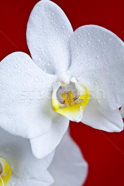 Orchids, colorful springtime nature concept Stock photo © JanPietruszka