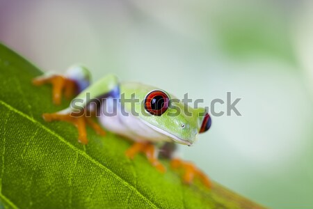 Red eye tree frog Stock photo © JanPietruszka