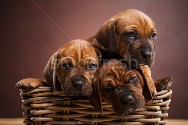 Baby dogs Stock photo © JanPietruszka