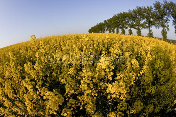 Stock photo: Canola, springtime vivid rural concept