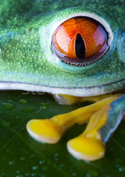 Sapo selva colorido natureza vermelho tropical Foto stock © JanPietruszka
