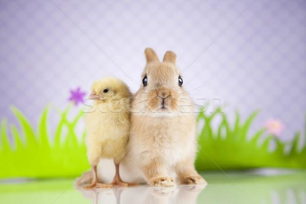 Küçük civciv tavşan iyi paskalyalar tavşan mutlu Stok fotoğraf © JanPietruszka