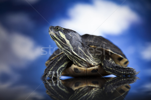 Water turtle Stock photo © JanPietruszka