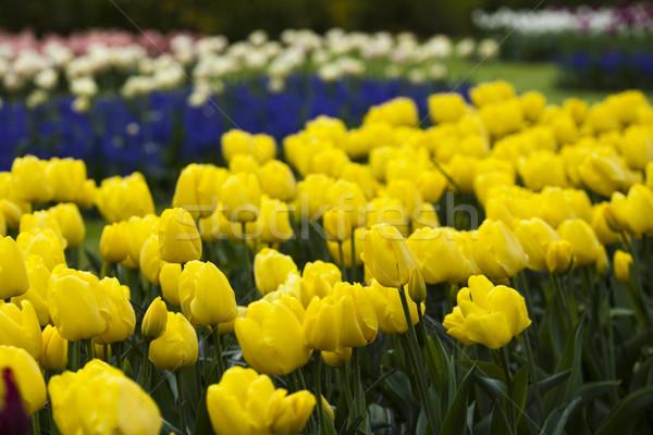 Tulips background, spring colorful vivid theme Stock photo © JanPietruszka