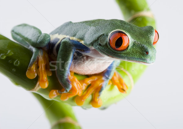 Red eye tree frog on colorful background Stock photo © JanPietruszka