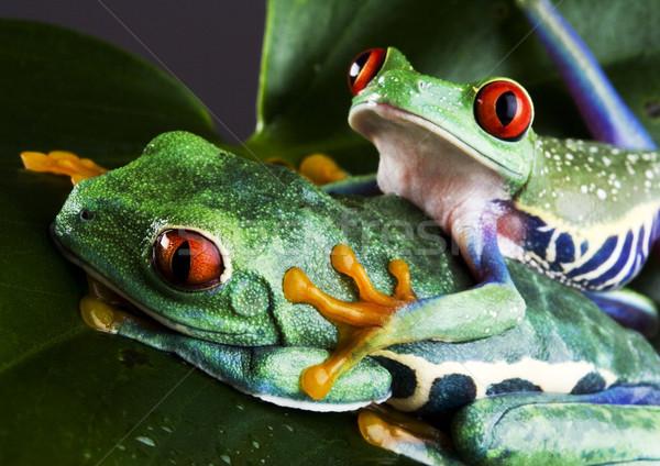 Battant grenouille jungle coloré nature rouge Photo stock © JanPietruszka