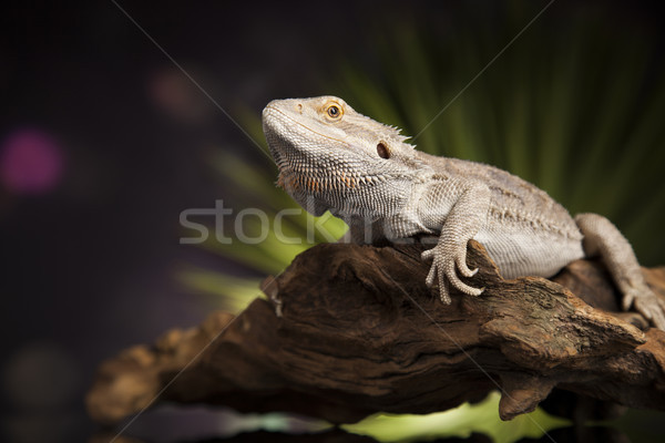 Lizard root, Bearded Dragon on black mirror background Stock photo © JanPietruszka