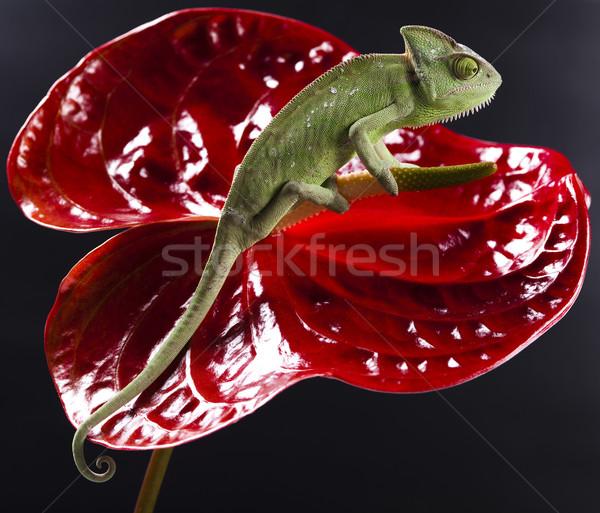 Kameleon bloem kruis achtergrond portret dieren Stockfoto © JanPietruszka