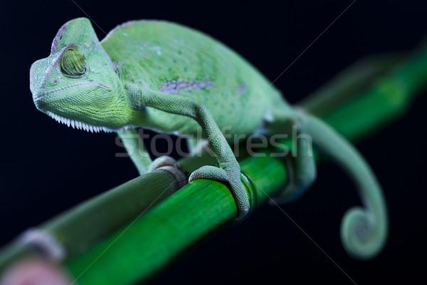 Foto stock: Lagarto · famílias · camaleão · atravessar · fundo · retrato