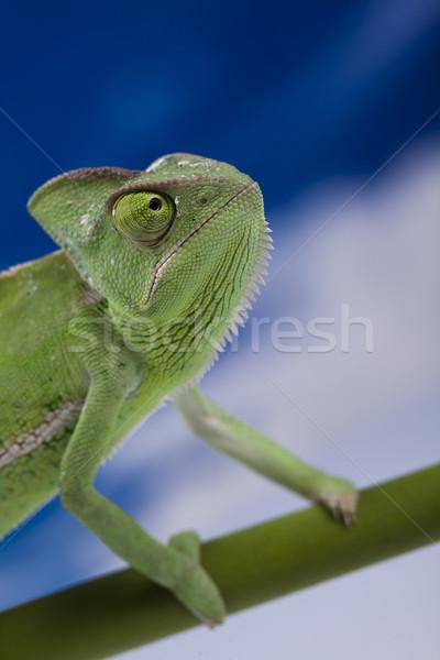 Kameleon blauwe hemel kruis achtergrond portret dieren Stockfoto © JanPietruszka