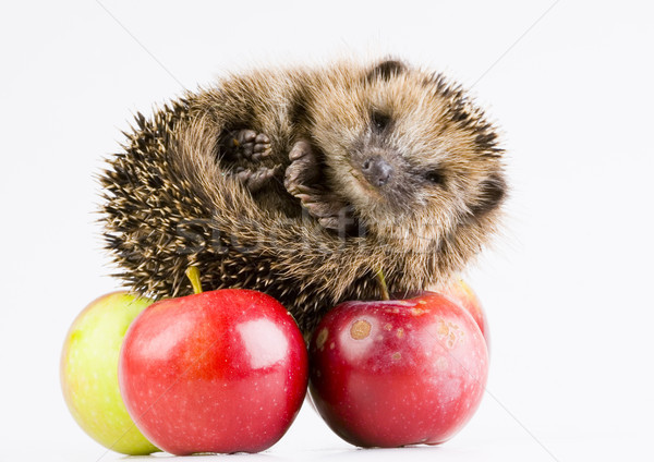 Hedgehog with apple, bright colorful vivid theme Stock photo © JanPietruszka