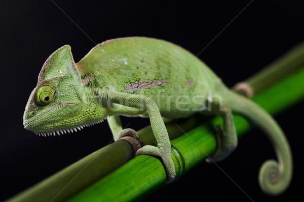 Kameleon kruis achtergrond portret dieren grappig Stockfoto © JanPietruszka