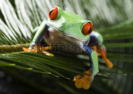 Flying Frog in the jungle on colorful background Stock photo © JanPietruszka