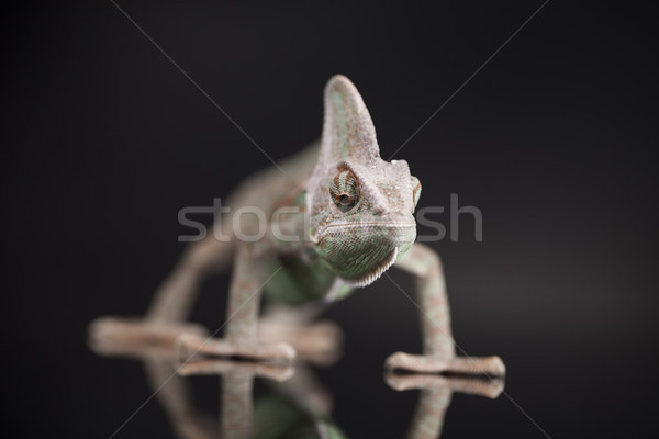 Chameleon lizard on black background Stock photo © JanPietruszka