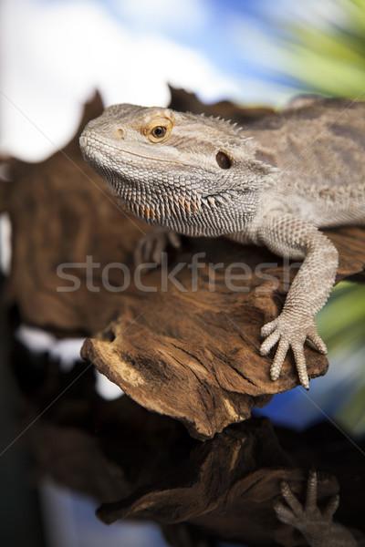 Lagarto raíz barbado dragón negro espejo Foto stock © JanPietruszka