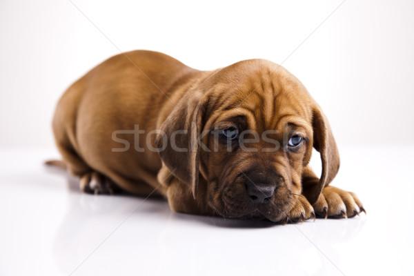 Kicsi kutya baba kutyák fiatal szomorúság Stock fotó © JanPietruszka