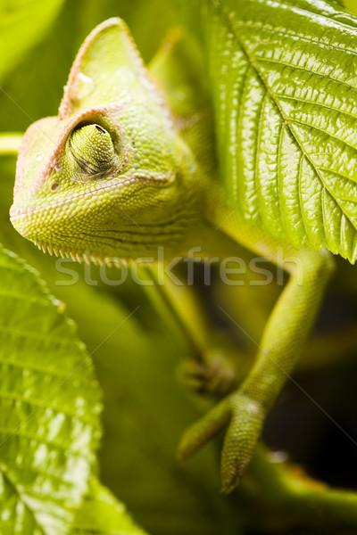 Camaleão brilhante exótico clima colorido Foto stock © JanPietruszka