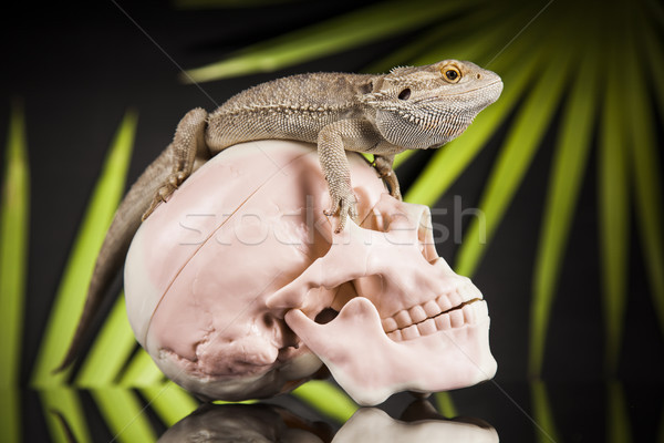 Human skull,Agama bearded, lizard background   Stock photo © JanPietruszka